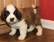 St. Bernard male and female puppies Image eClassifieds4u 2