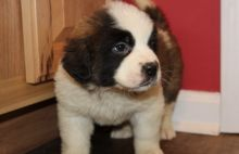 St. Bernard male and female puppies Image eClassifieds4u 1