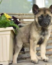 Awesome health Norwegian Elkhound puppies