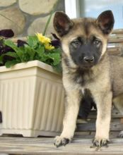 sociable and fun loving Norwegian Elkhound puppies