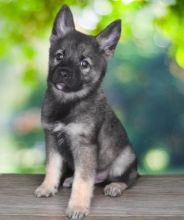 Norwegian Elkhound puppies ready Image eClassifieds4u 1