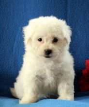 C.K.C MALE AND FEMALE BICHON FRISE PUPPIES AVAILABLE