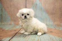 C.K.C MALE AND FEMALE PEKINGESE PUPPIES AVAILABLE