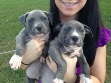 C.K.C MALE AND FEMALE AMERICAN PITBULL TERRIER PUPPIES AVAILABLE