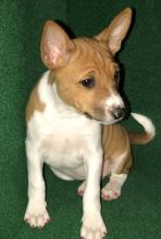 Exceptional CKC Basenji puppies