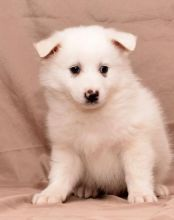 C.K.C MALE AND FEMALE American Eskimo PUPPIES AVAILABLE