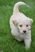 C.K.C MALE AND FEMALE GOLDENDOODLE PUPPIES AVAILABLE️
