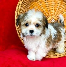 C.K.C MALE AND FEMALE HAVANESE PUPPIES AVAILABLE