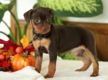 C.K.C MALE AND FEMALE MINIATURE PINSCHER PUPPIES AVAILABLE
