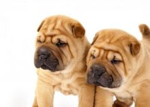 C.K.C MALE AND FEMALE SHAR-PEI PUPPIES AVAILABLE️