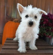 C.K.C MALE AND FEMALE WEST HIGHLAND TERRIER PUPPIES AVAILABLE ]]