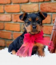 C.K.C MALE AND FEMALE YORKIE PUPPIES AVAILABLE
