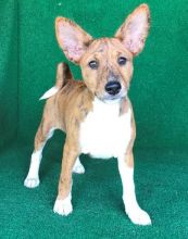 Winnipeg Basenji : Dogs, Puppies for Sale Classifieds at