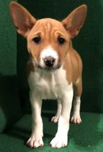 Male And Female Basenji puppies available
