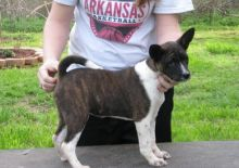 Out Standing Basenji puppies Available