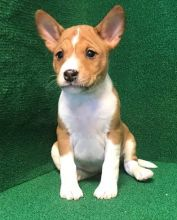 Your New Basenji puppies Friend