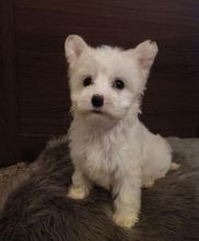 C.K.C MALE AND FEMALE CHINESE CRESTED PUPPIES AVAILABLE Image eClassifieds4U
