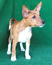 Basenji puppies for pet loving homes Image eClassifieds4u 1