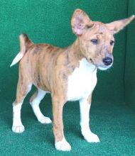 Purebred Basenji puppies Image eClassifieds4u 1