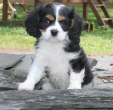 C.K.C MALE AND FEMALE CAVALIER KING CHARLES SPANIEL PUPPIES AVAILABLE