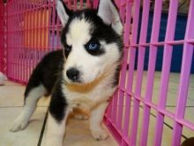 Beautiful Pure Siberian Husky Puppies(430)201-0537