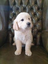 Golden Retriever Puppies available (430)201-0537