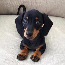 For Adoption: Dachshund Puppies,Ckc Reg.