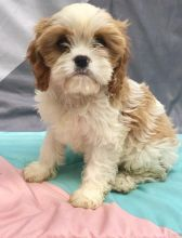 C.K.C MALE AND FEMALE CAVACHON PUPPIES AVAILABLE