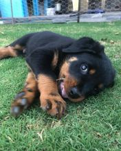 Healthy Male and female Rottweiler puppies for Adoption