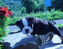 Wow! Wow! Wow! Look at this gorgeous olde English bulldogges pups