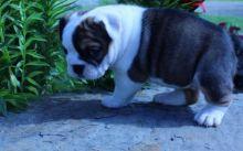 olde English bulldogges Image eClassifieds4u 2