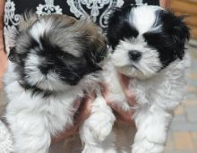 Shih Tzu Puppies for Re-homing Image eClassifieds4u 1