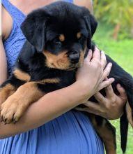 Very sweet temperament Rottweiler puppies Image eClassifieds4u 2