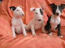 Amazing Bull-terrier puppies.