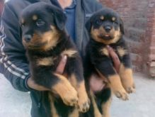 Cute Rottweiler Puppies for Adoption