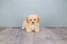 Friendly Cavapoo Puppies, home and potty trained