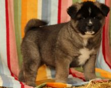 Good Looking Akita Puppies Now Available