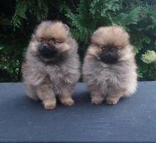 Pomeranian Puppies For Adoption
