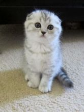 Edmonton Scottish Fold : Cats, Kittens for Sale Classifieds at