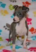 soooo precious Italian Greyhound puppies
