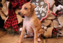 Well Trained Italian Greyhound puppies available Image eClassifieds4u 1