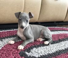 Well Trained Italian Greyhound puppies available Image eClassifieds4u 2