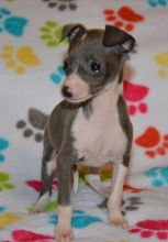 Extra Charming Italian Greyhound Puppies Available For New Looking Homes Image eClassifieds4u 3