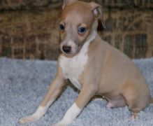 Extra Charming Italian Greyhound Puppies Available For New Looking Homes Image eClassifieds4u 2