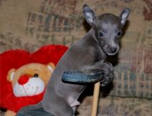 Extra Charming Italian Greyhound Puppies Available For New Looking Homes Image eClassifieds4u 1