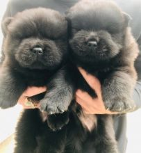 Lovely Chow Chow Puppies Image eClassifieds4u 1