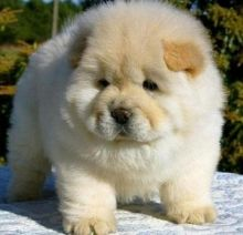 Lovely Chow Chow Puppies Image eClassifieds4u 2