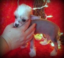 Top quality chinese crested puppies available Image eClassifieds4u 2