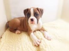 We have a beautiful litter of 2 Boxer puppies. Image eClassifieds4U