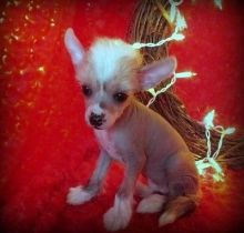 well socialized chinese crested puppies Image eClassifieds4u 2